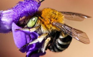 """""""Native Bees: Why Pollinators Matter"""" workshop via Zoom Tuesday, 27 July @1.30pm"""